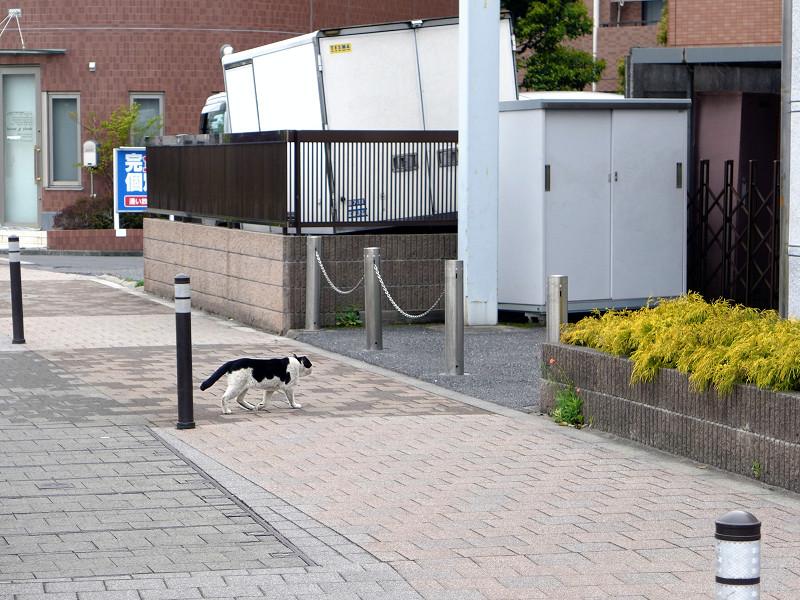 歩道を横切る黒白猫1