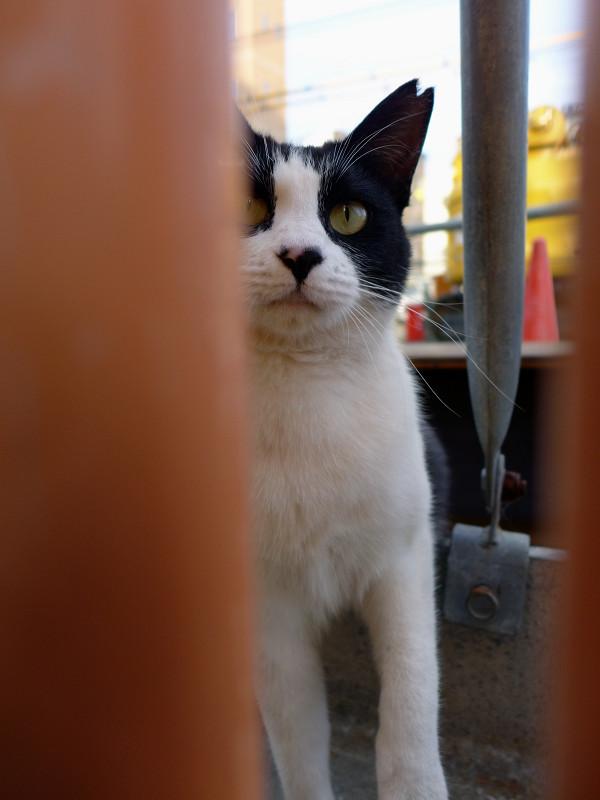 隙間からパンチの黒白猫1