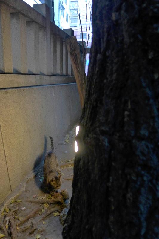 爪研ぎのキジトラ猫