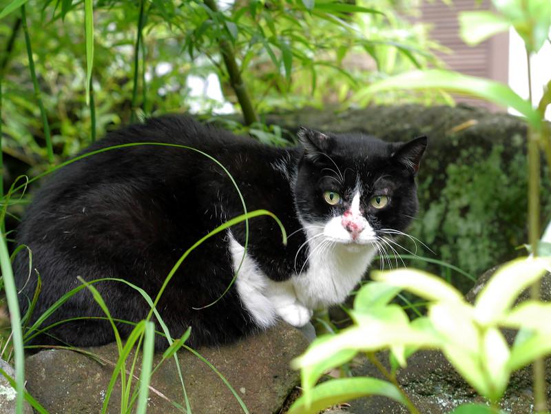 鼻を怪我してる黒白猫2
