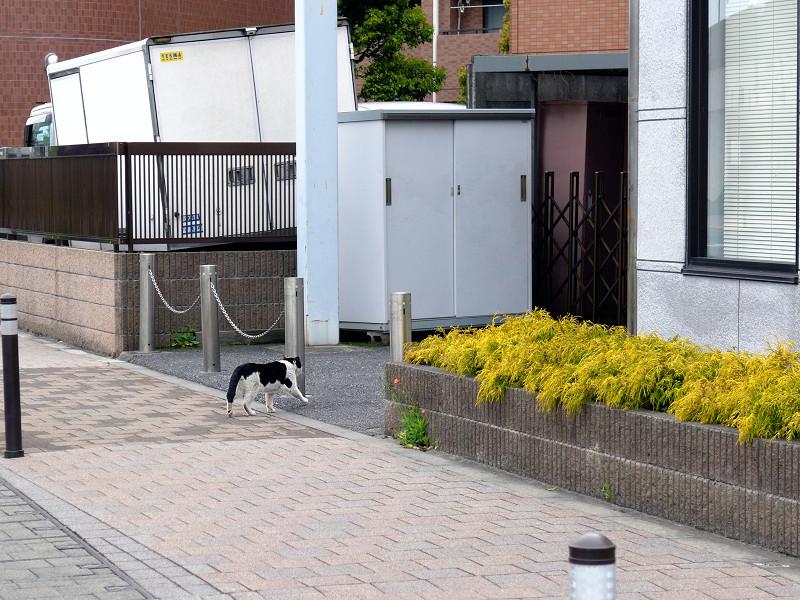 歩道を横切る黒白猫2