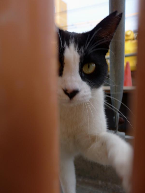 隙間からパンチの黒白猫2