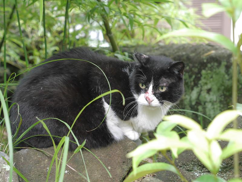 鼻を怪我してる黒白猫3