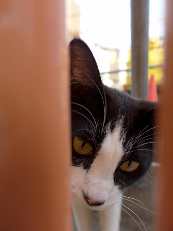 隙間からパンチの黒白猫3