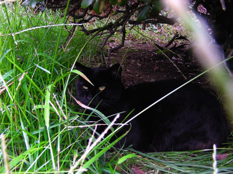 草むらの黒猫1
