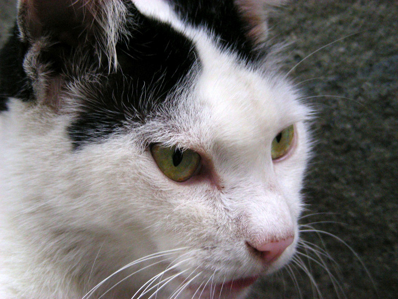 白黒猫のアップ1