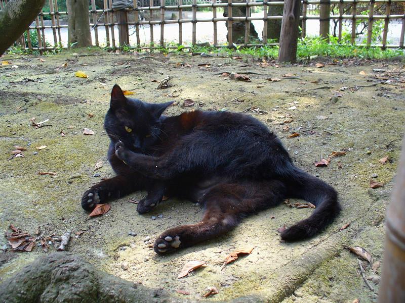 土の上で毛づくろいする黒猫1