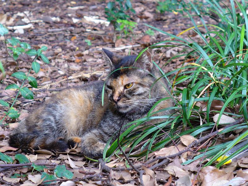 草むらで寝始めたサビ柄猫1