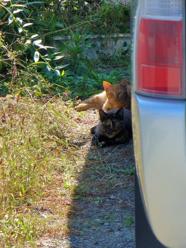 車の横の猫1