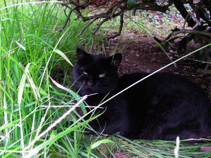 草むらの黒猫2