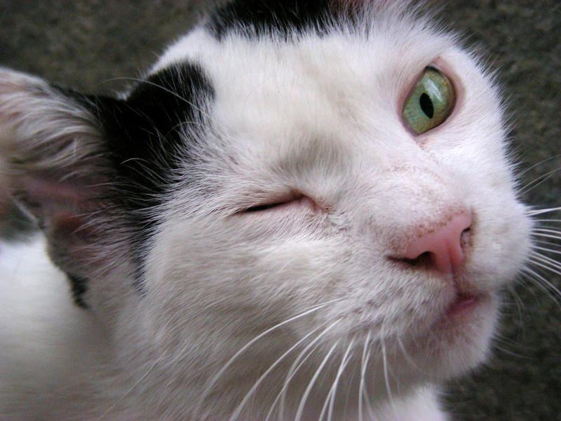 白黒猫のアップ2