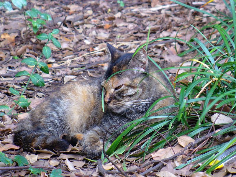 草むらで寝始めたサビ柄猫2