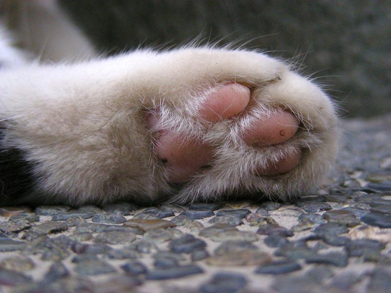 白黒猫の肉球アップ3