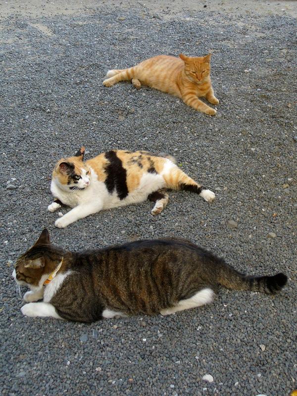 玉砂利に腹ばう猫3匹3