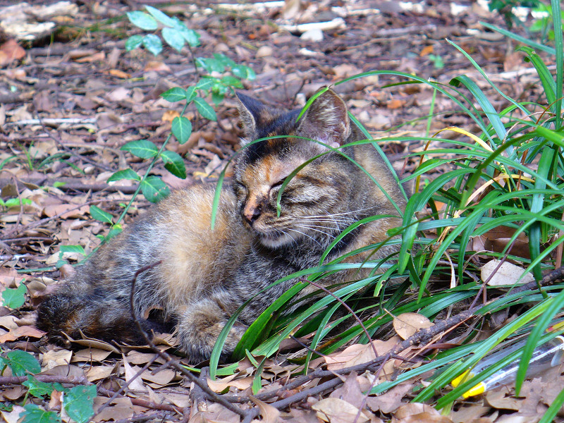 草むらで寝始めたサビ柄猫3
