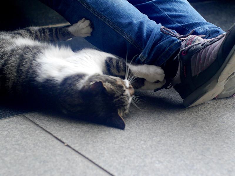 足首にパッツンするキジ白猫1