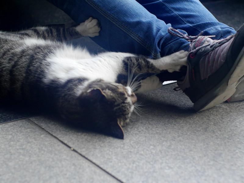足首にパッツンするキジ白猫2