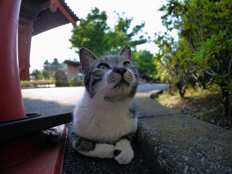 腹ばってるキジ白猫3