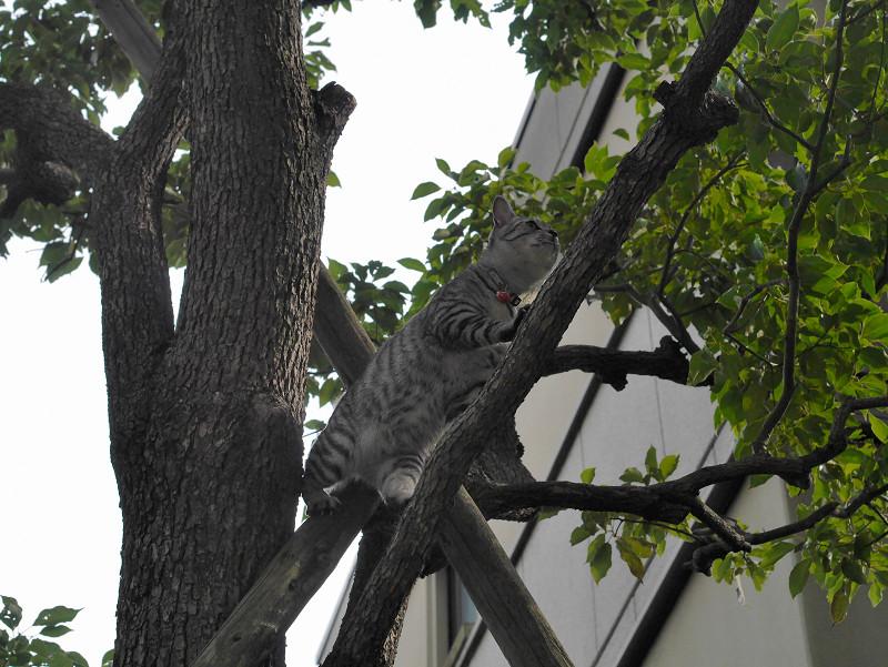 木に登ったサバトラ猫1