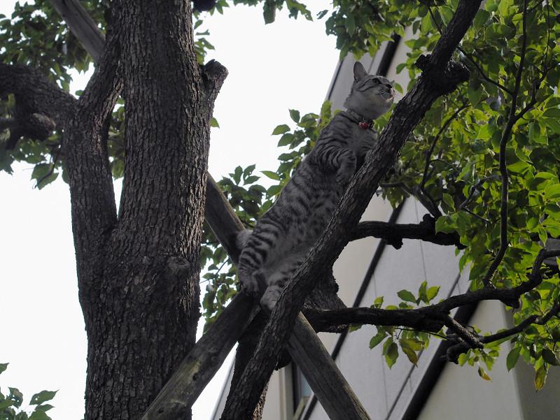 木に登ったサバトラ猫2