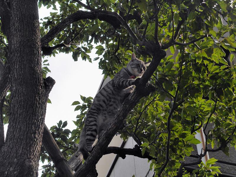 木に登ったサバトラ猫3