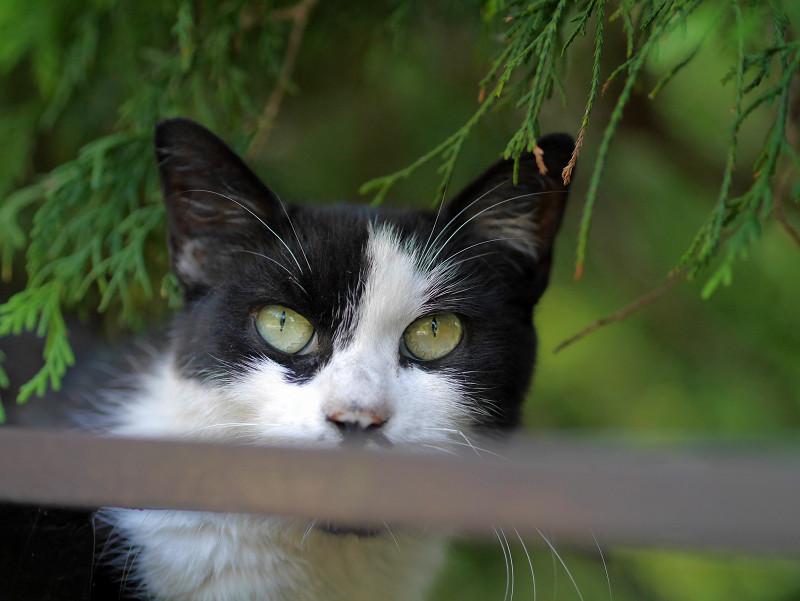 瞳で語る黒白猫1