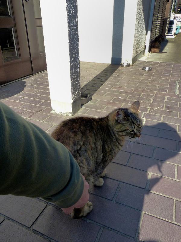 腰を触られてるサビ柄猫1