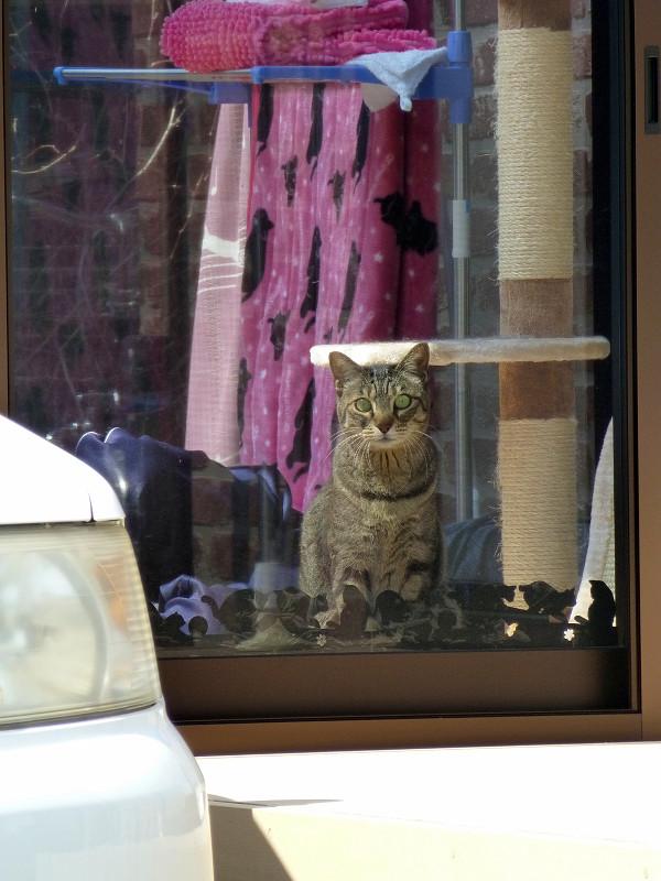 サンルームハウスのキジトラ猫1