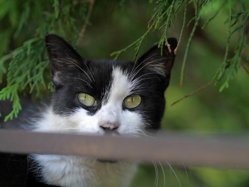 瞳で語る黒白猫2