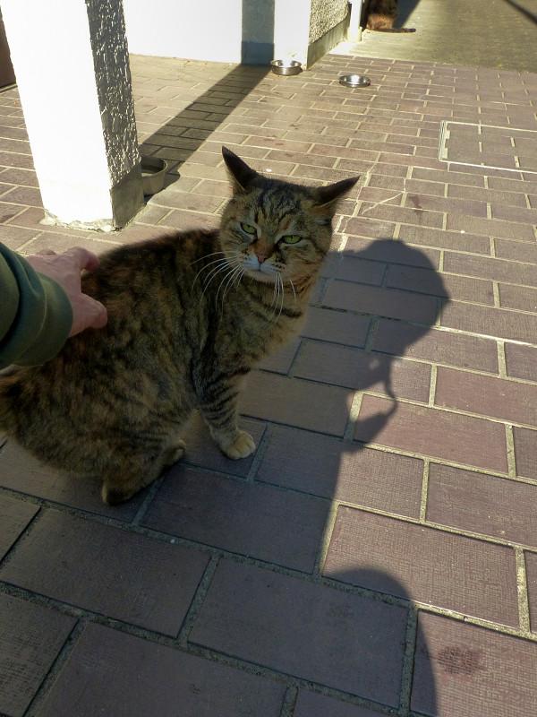 腰を触られてるサビ柄猫2