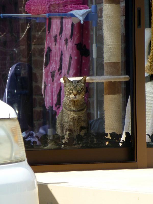 サンルームハウスのキジトラ猫2