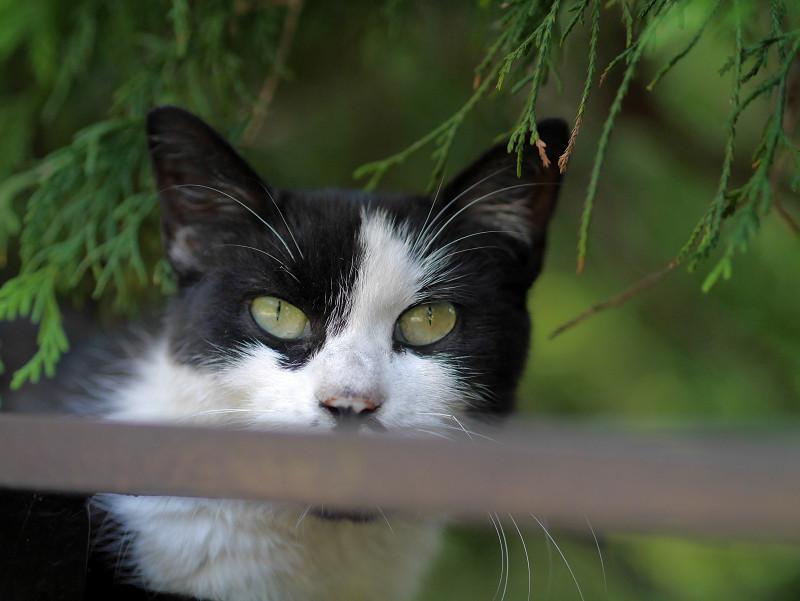 瞳で語る黒白猫3