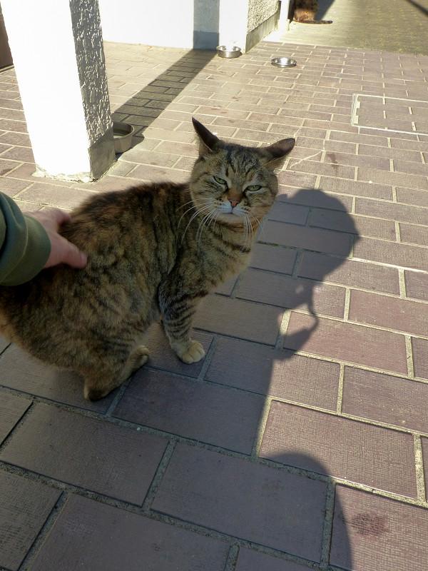 腰を触られてるサビ柄猫3