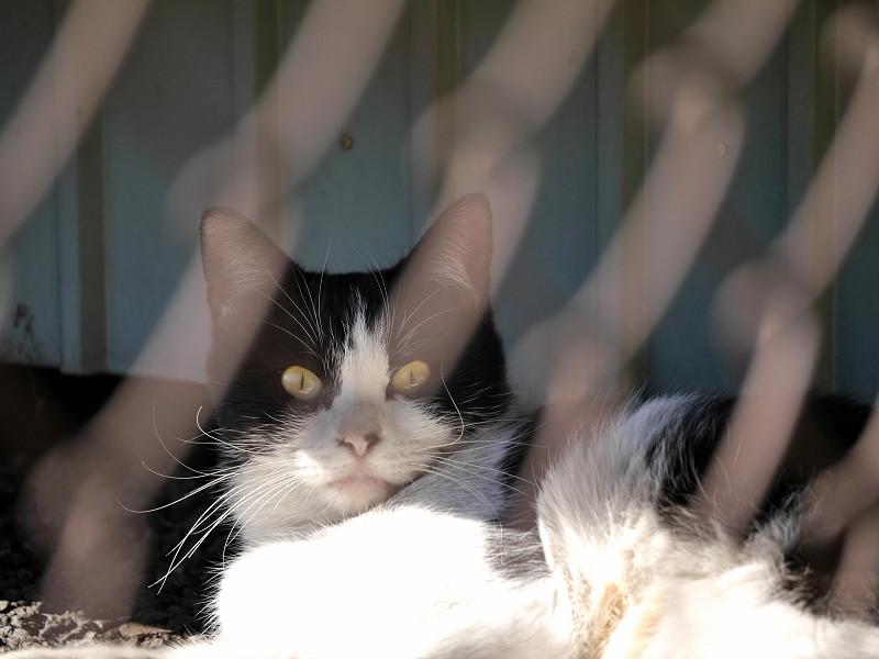 金網と黒白猫3