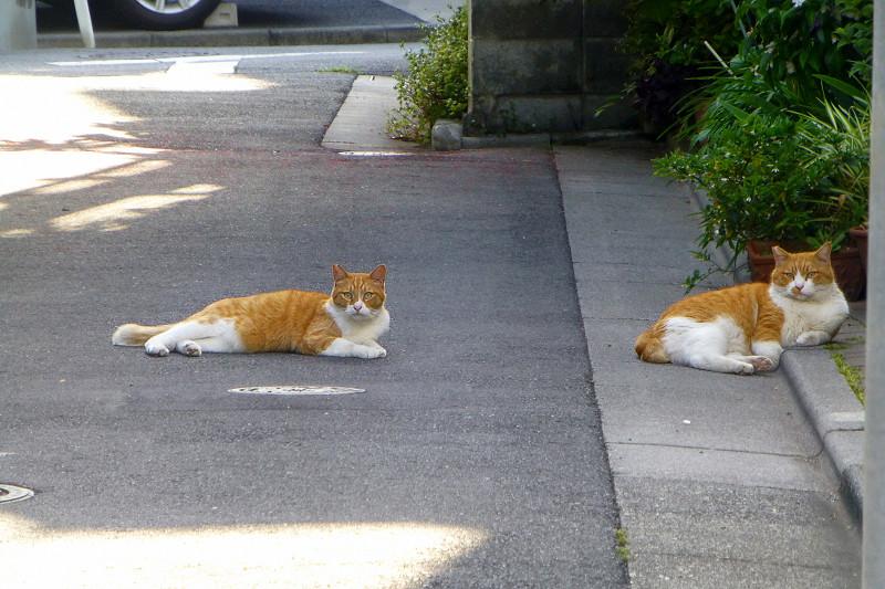 路地裏で腹ばってる茶白猫たち1