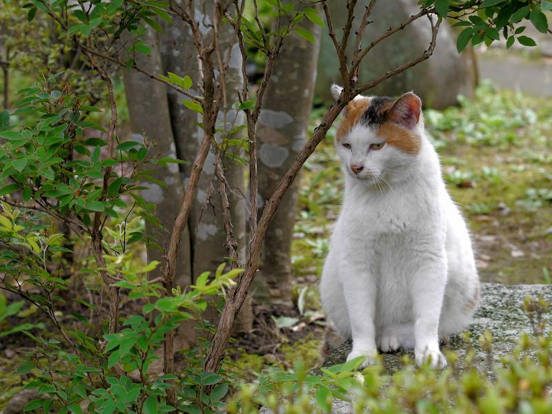 木立の横の白三毛猫1