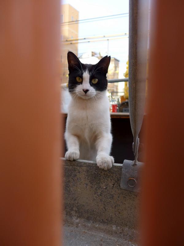 隙間から離れてる黒白猫1