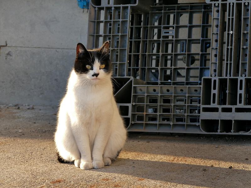 末広がり体型の白黒猫1