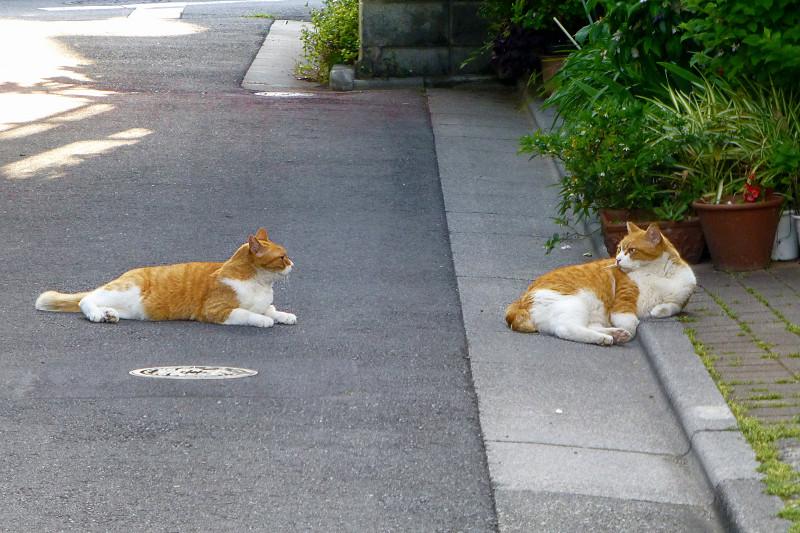 路地裏で腹ばってる茶白猫たち2
