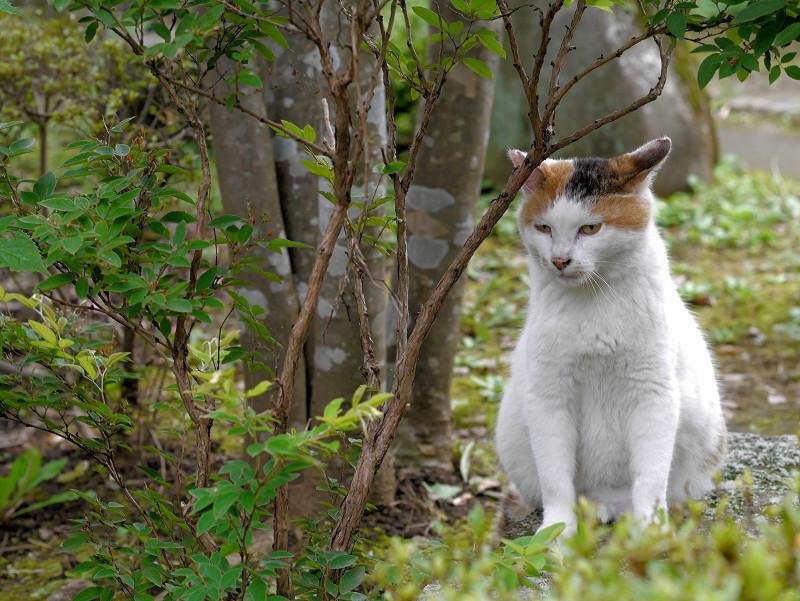 木立の横の白三毛猫2