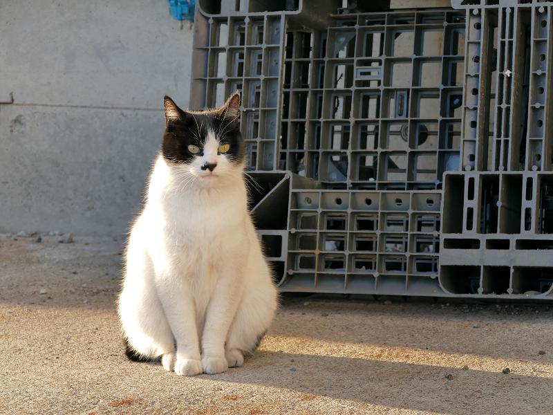 末広がり体型の白黒猫2