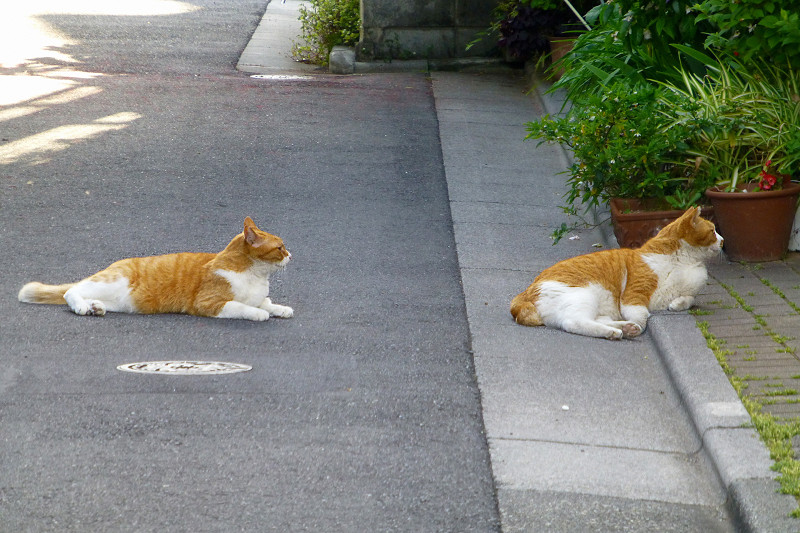 路地裏で腹ばってる茶白猫たち3