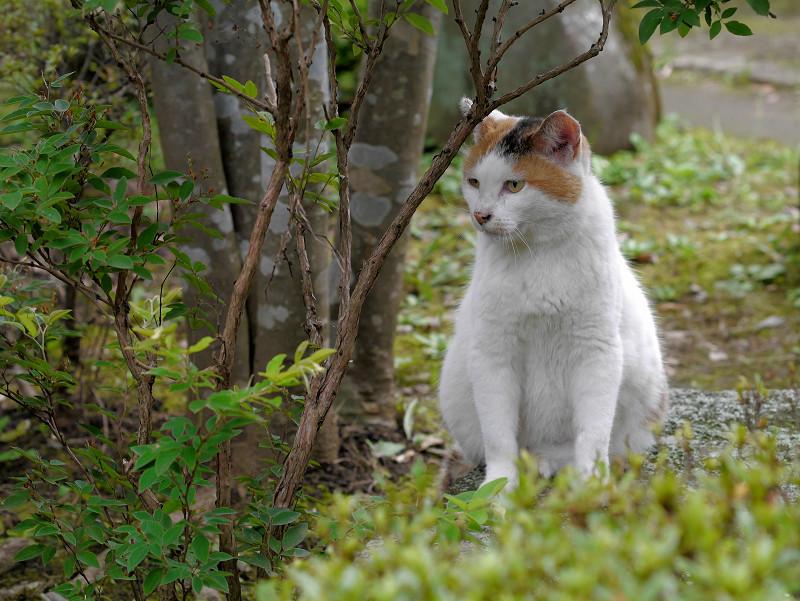 木立の横の白三毛猫3