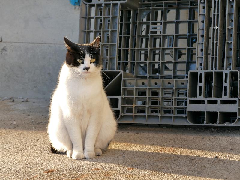 末広がり体型の白黒猫3