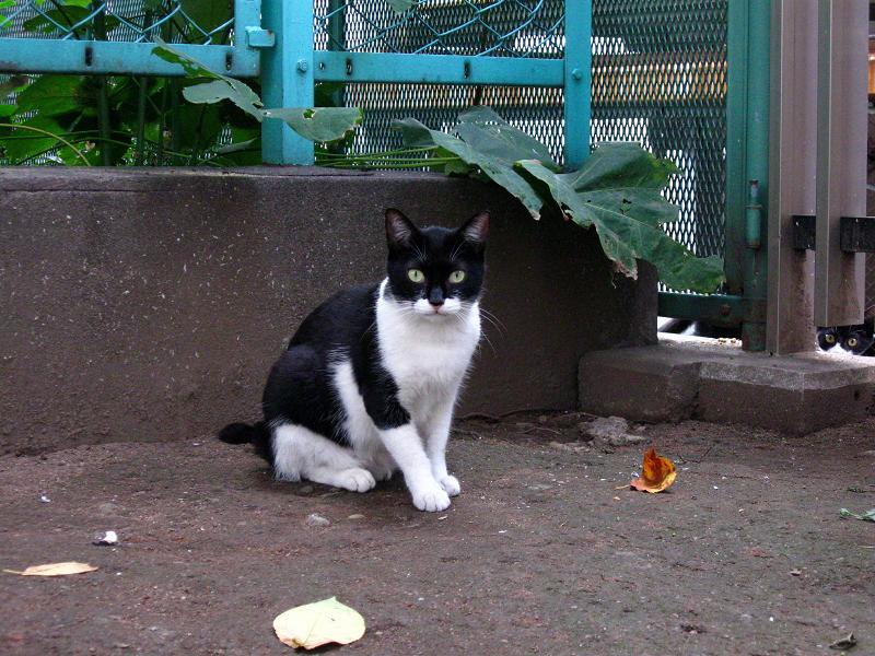公園の黒白猫2