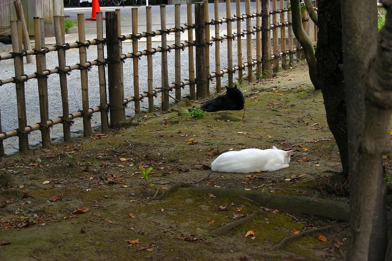 お庭の白猫黒猫