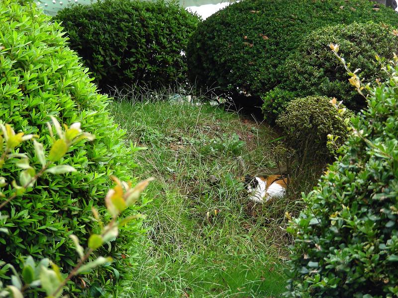 植え込みスペースの三毛猫1