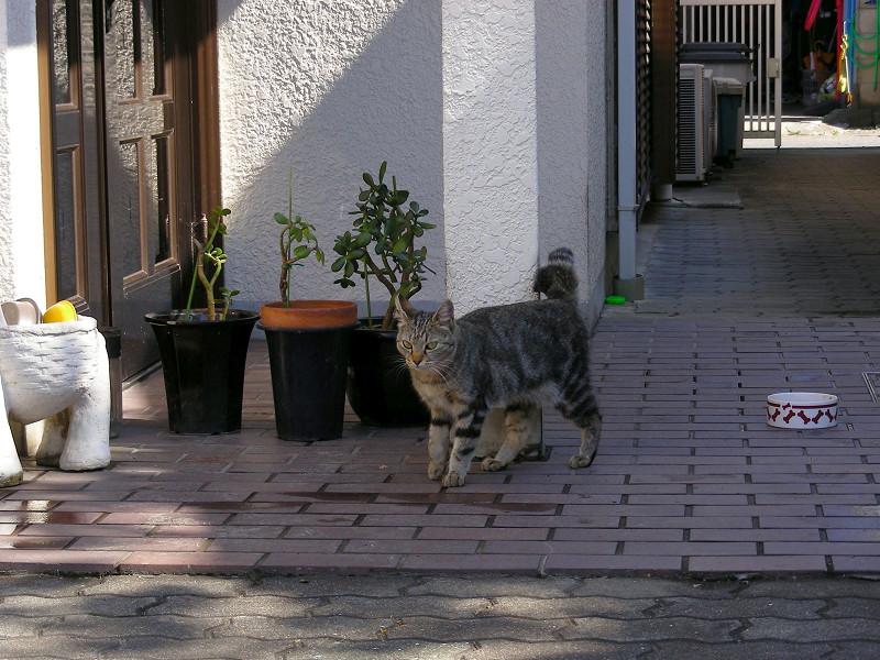 歩いて出てきたキジトラ猫1