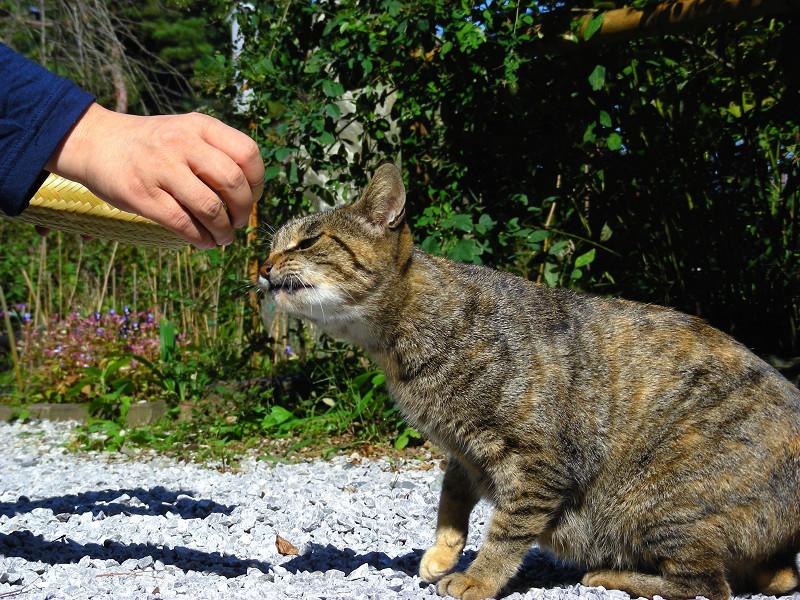 首を伸ばすキジトラ猫1