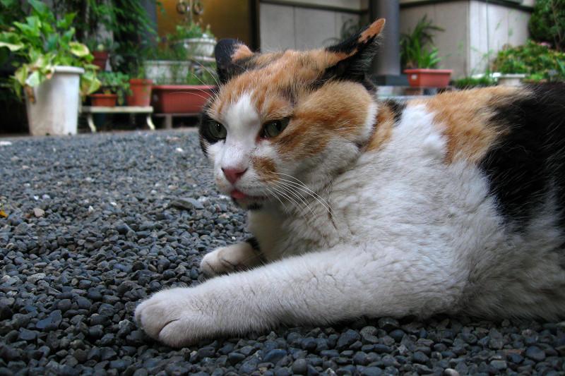 玉砂利で腹ば茶系三毛猫1